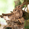 Apr 15: Hummingbird babies just before they left the nest.  Post-processing: straightened, brightened, applied unsharp mask.