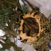Apr 3: Hummingbird chicks. I gave up trying to see down into the nest with my SLR--just not enough space to do it--and instead held my new canon S95 point-and-shoot straight overhead and just clicked several shots without being able to see what I was aiming at, hoping that one would turn out. This one was pretty good.